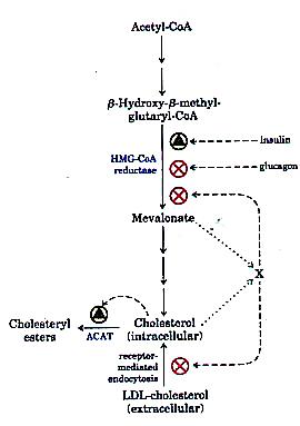 Insulin Cholesterol Schematic